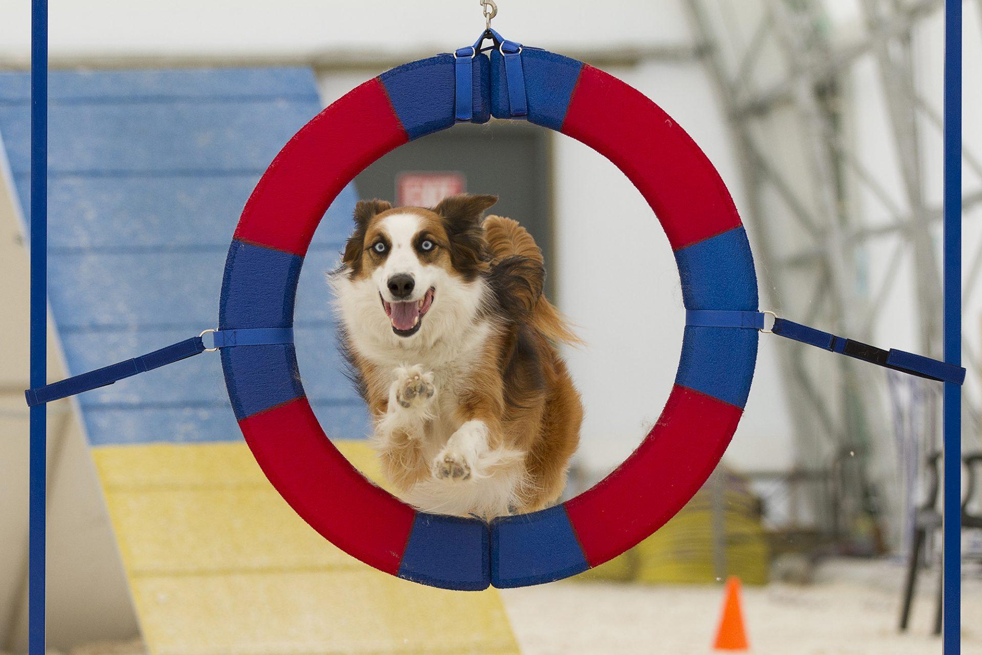 English Shepherd Dog through tire jump in dog agility