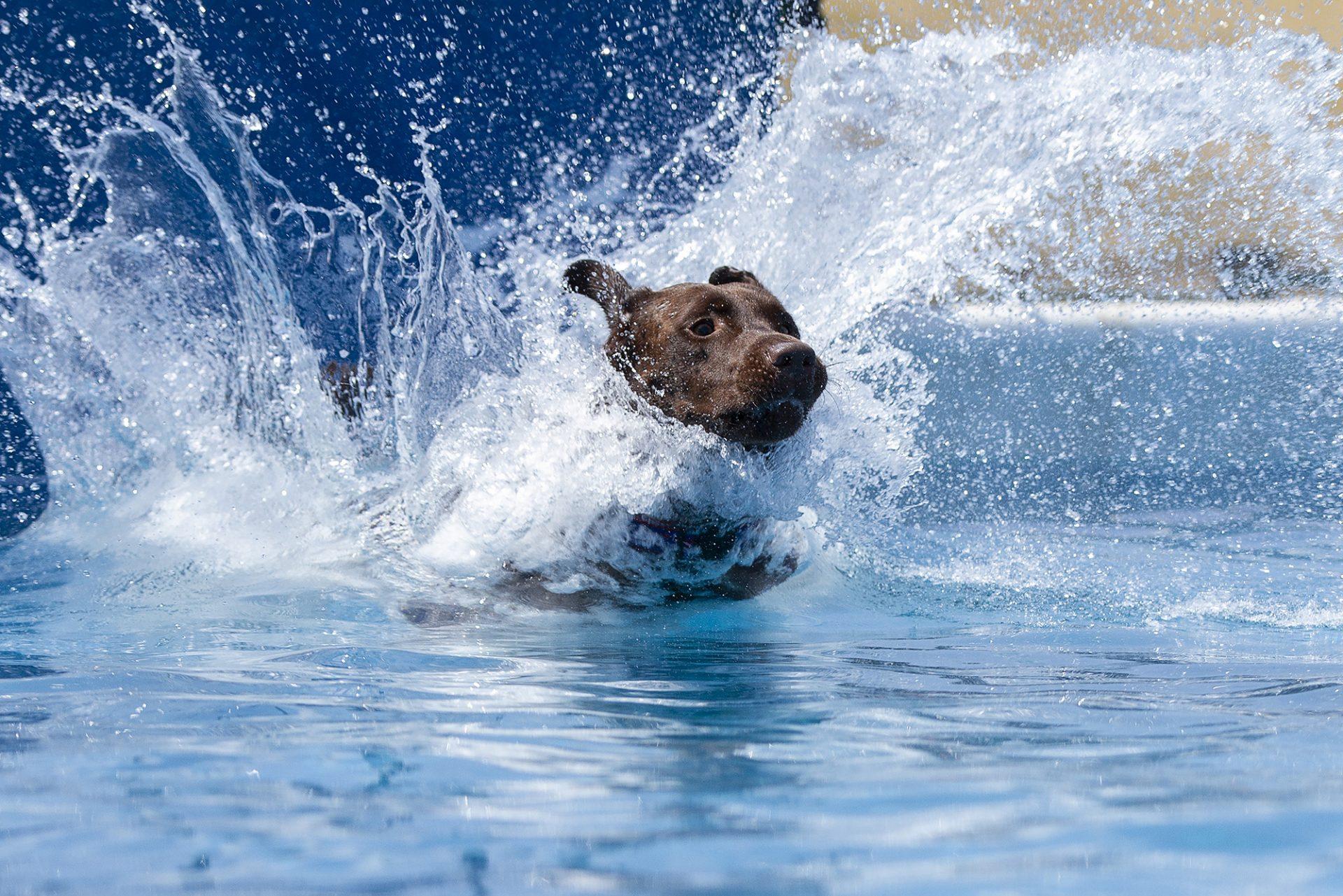 Chocolate labrador retriever at dock diving
