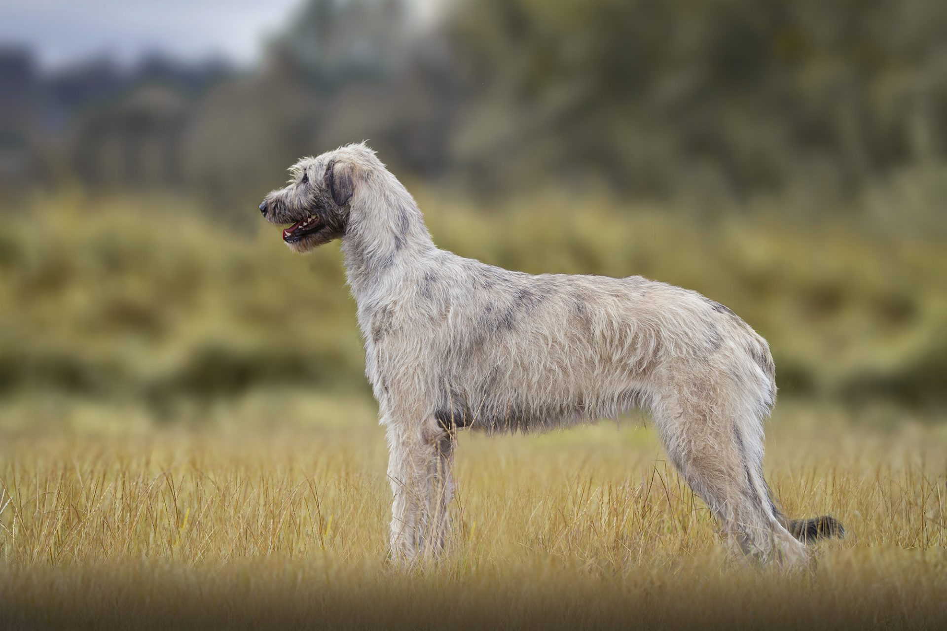 Irish Wolfhound standing while lurecoursing