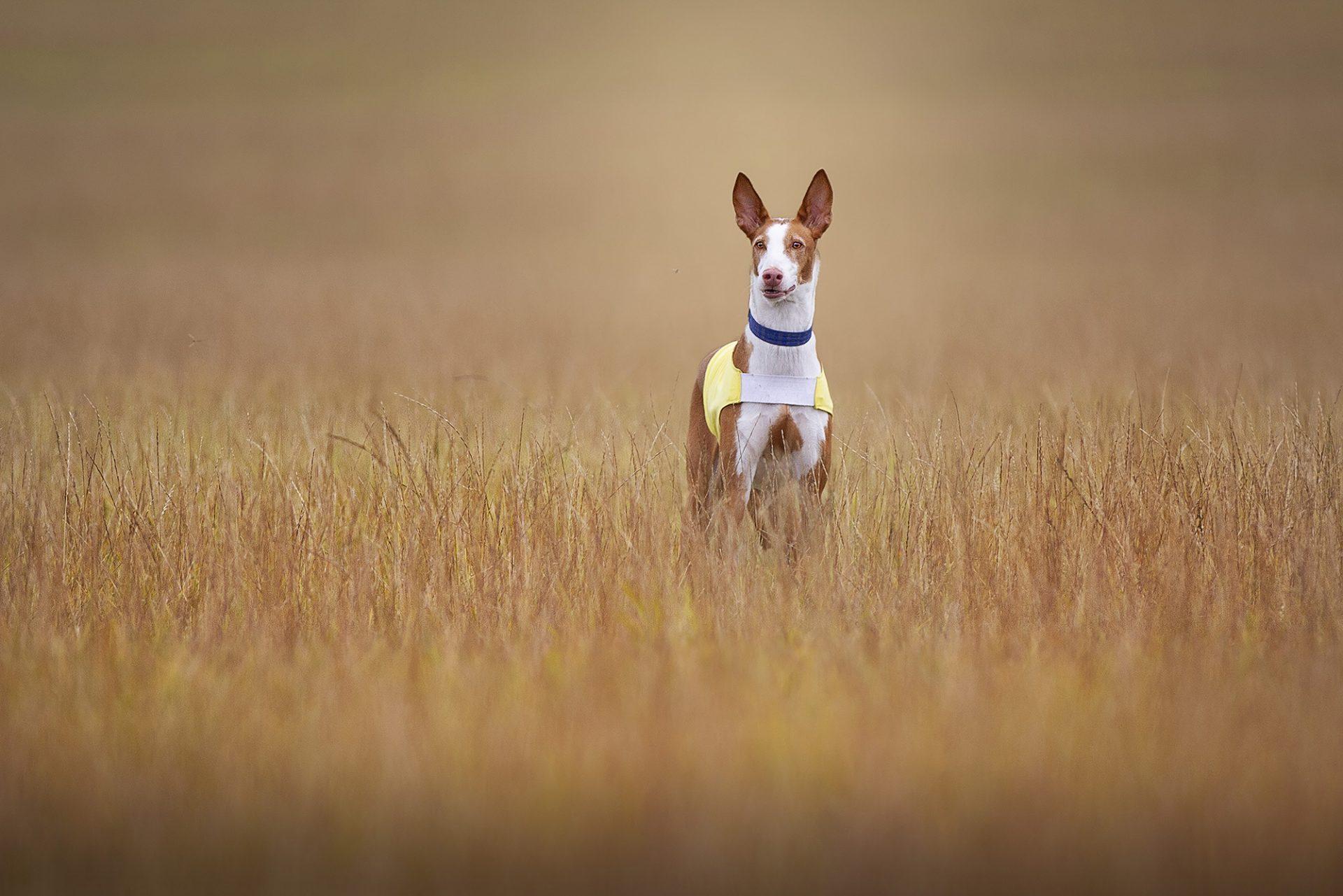 Pharoah Hound standing still while lurecoursing