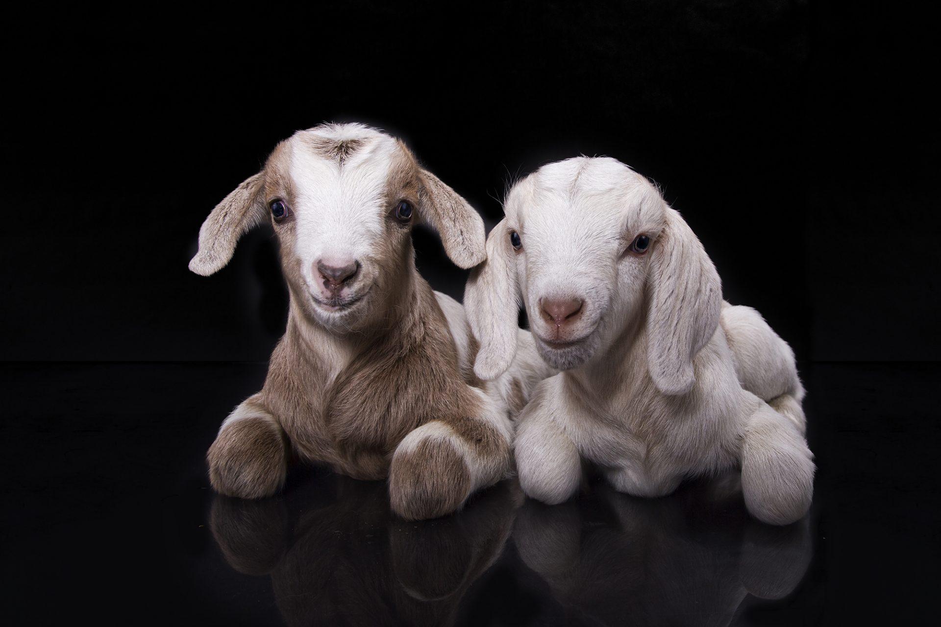 baby goat kids in studio