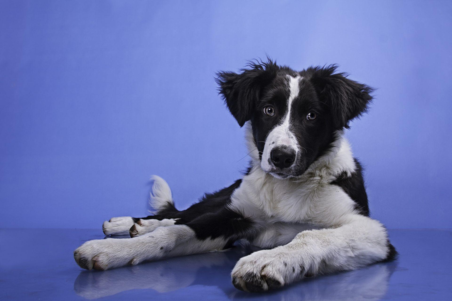 border collie puppy in studio