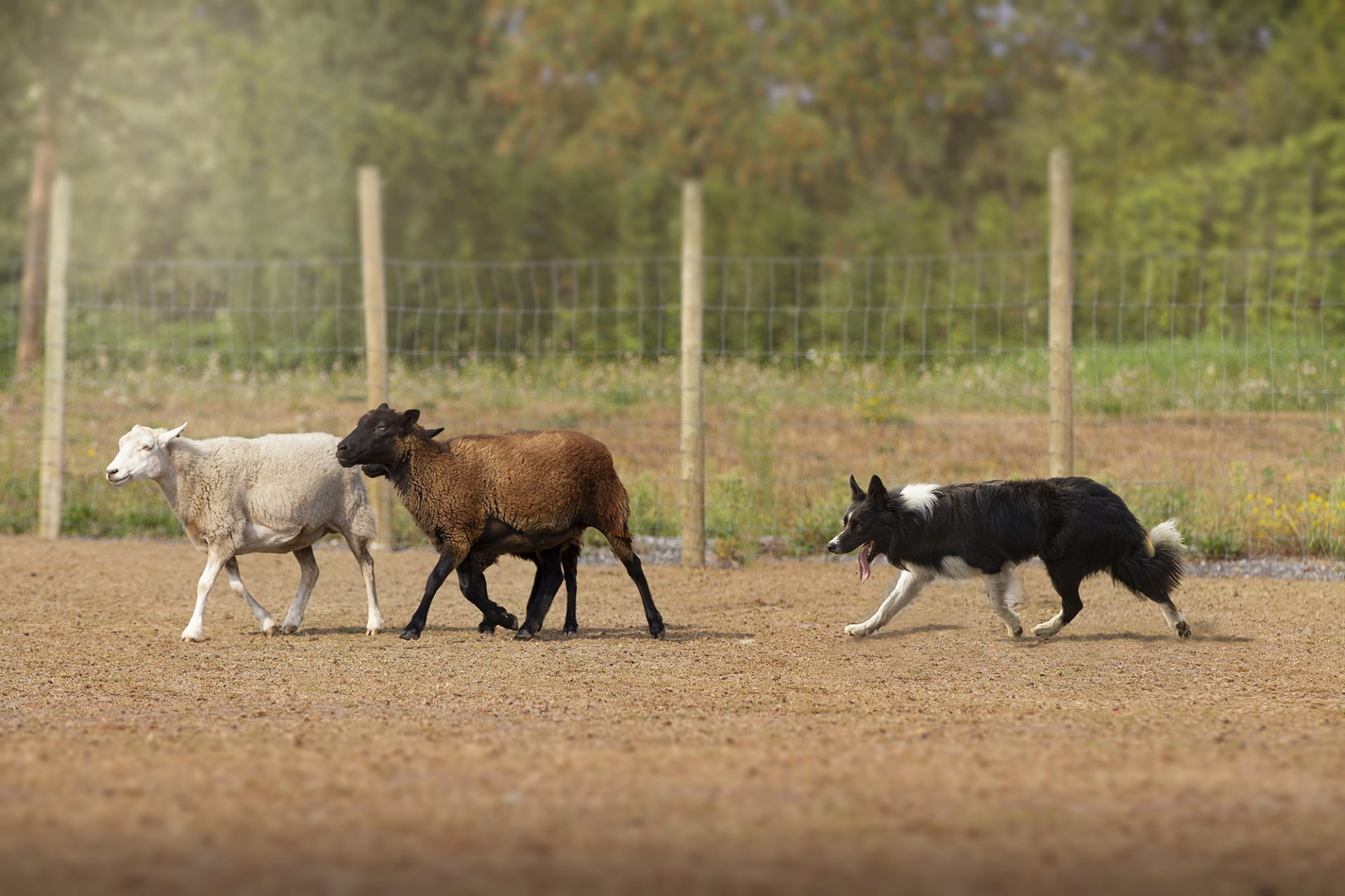 border collie dog working herding sheep