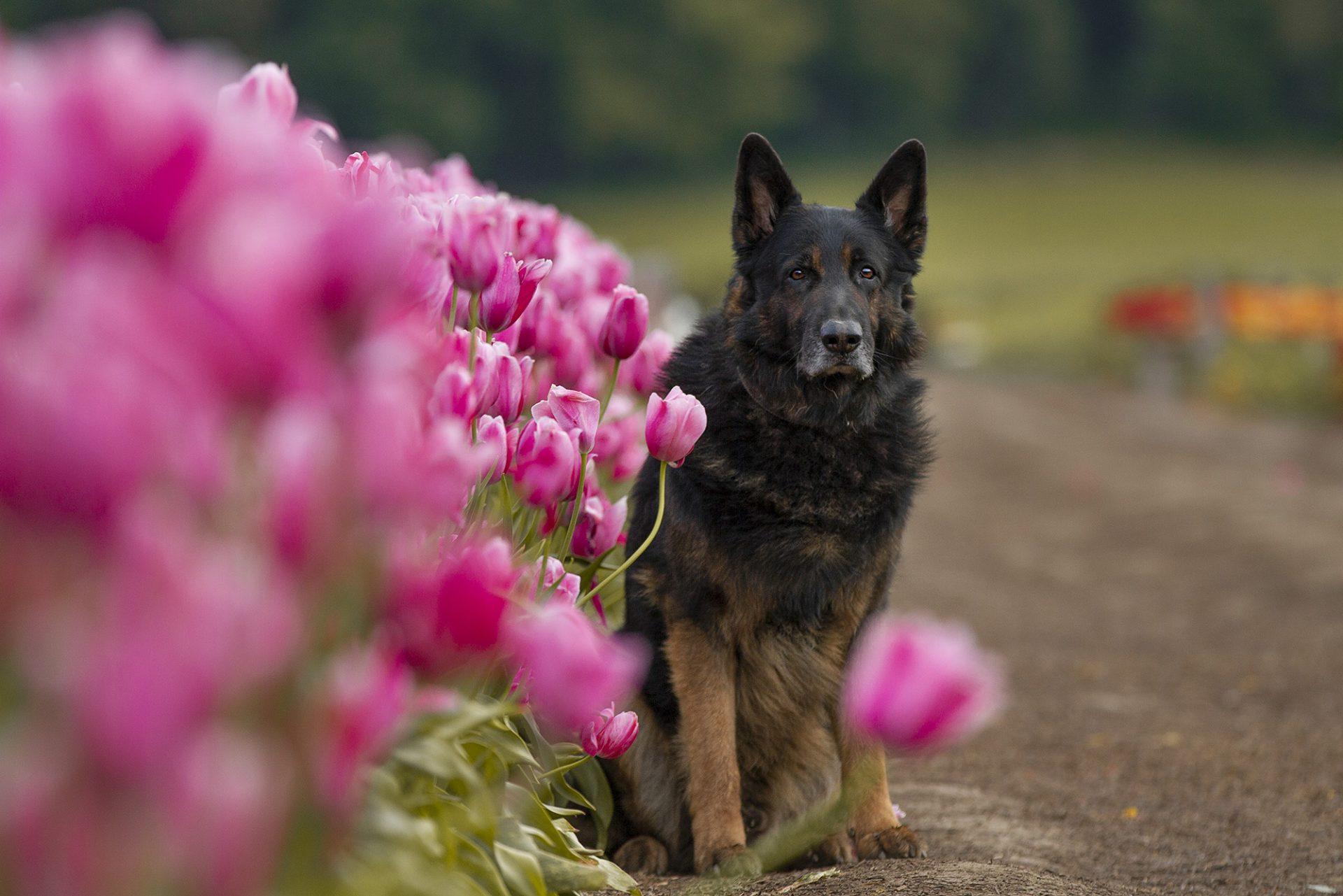 German Shepherd dog in tulips