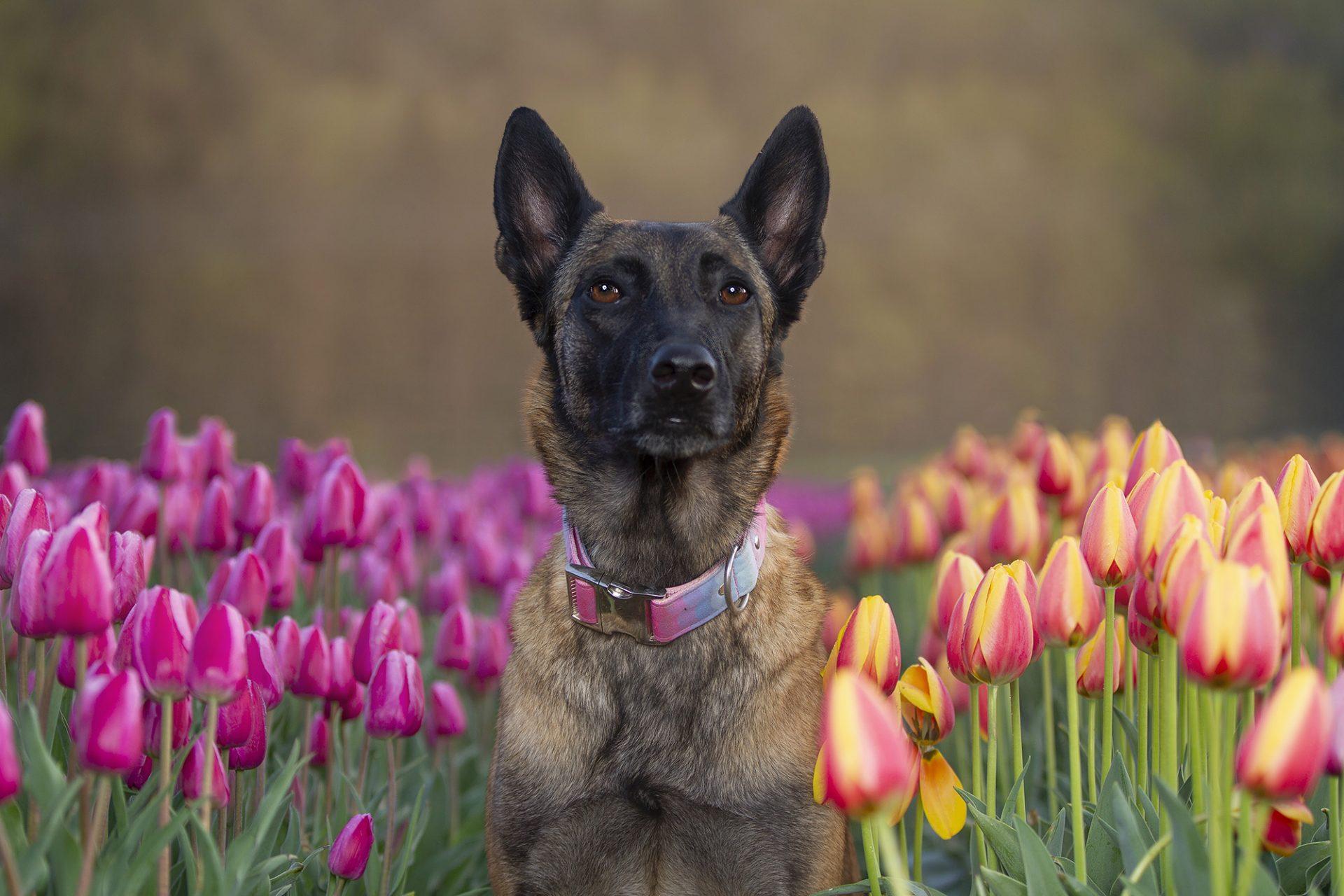 Belgian Malinois in tulips